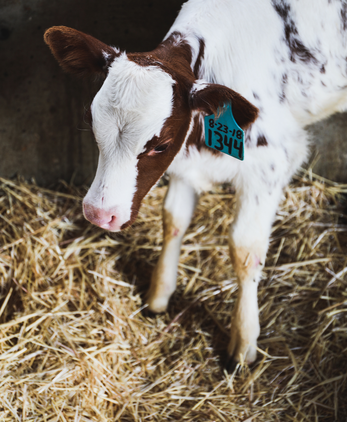 Tillamook Cow | DisplacedHousewife